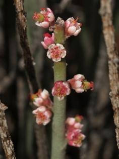 Candelilla, Euphorbia antisyphilitica © HiTechBio