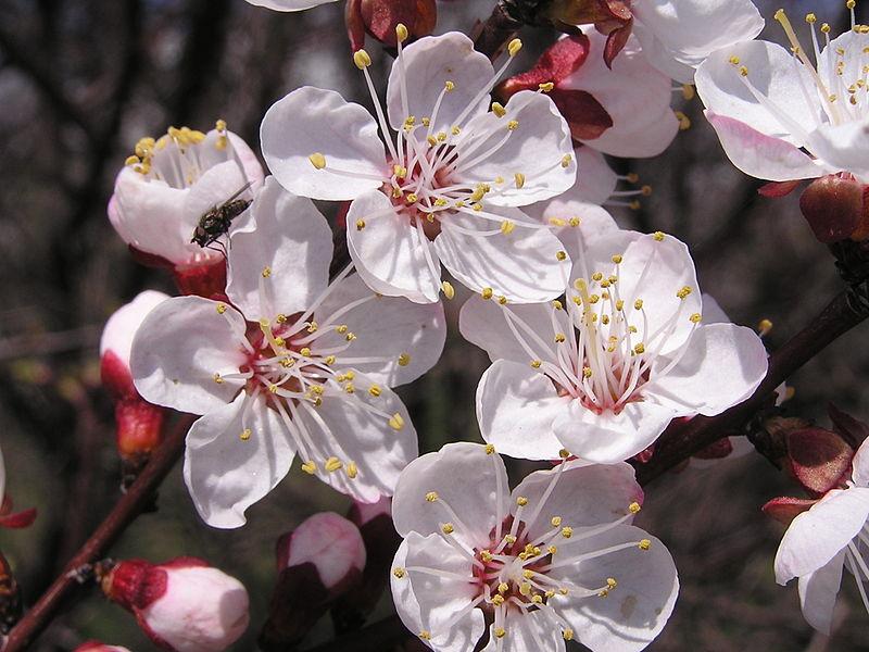 Huile v g tale de noyaux d abricot prunus armeniaca for Taille de l abricotier