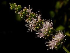 Mentha spicata de Jacilluck