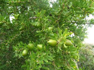 Fruits de l'arganier Daniel*D