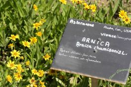 Fleur d'Arnica du jardin de Chemillé Nessie