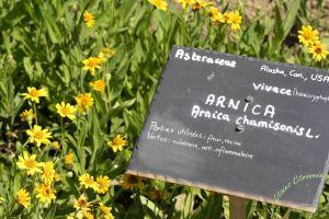 Fleur d'Arnica du jardin de Chemillé © Nessie