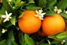 Citrus x aurantium