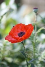 Coquelicot des jardins de Chemillé