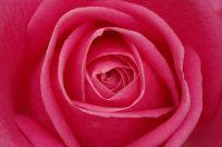 La rose un trésor de la nature. ©Atoma