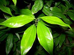 Feuille de Cinnamomum Zeylanicum par Davevito