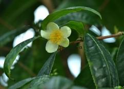 Théier, Camellia sisnensis par Cerlin Ng