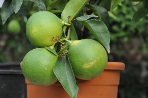 Citrus paradisii par Stefano