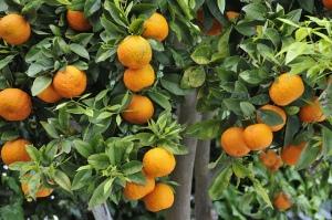 Oranger par POTIER Jean-Louis