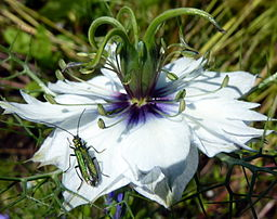Fleur de Nigelle By Becks (Bug on a flower via Wikimedia Commons