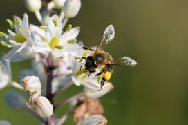 Biene mit Blütenpollen © isabellefleur